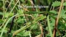 Insectes - Mante religieuse - La faune et la flore de M&M