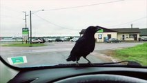 Crow Would Rather Drive Than Fly