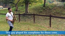 Amazing Guy Plays Saxophone for Cows Pet Video 2017 _ Daily Heart Beat-v4zP2mJeaeI