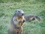 marmotte des saisies (73)