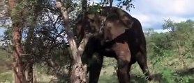Afrika'da, Sarhoş Eden Meyve- Marula yı yiyen hayvanlar komik halleri