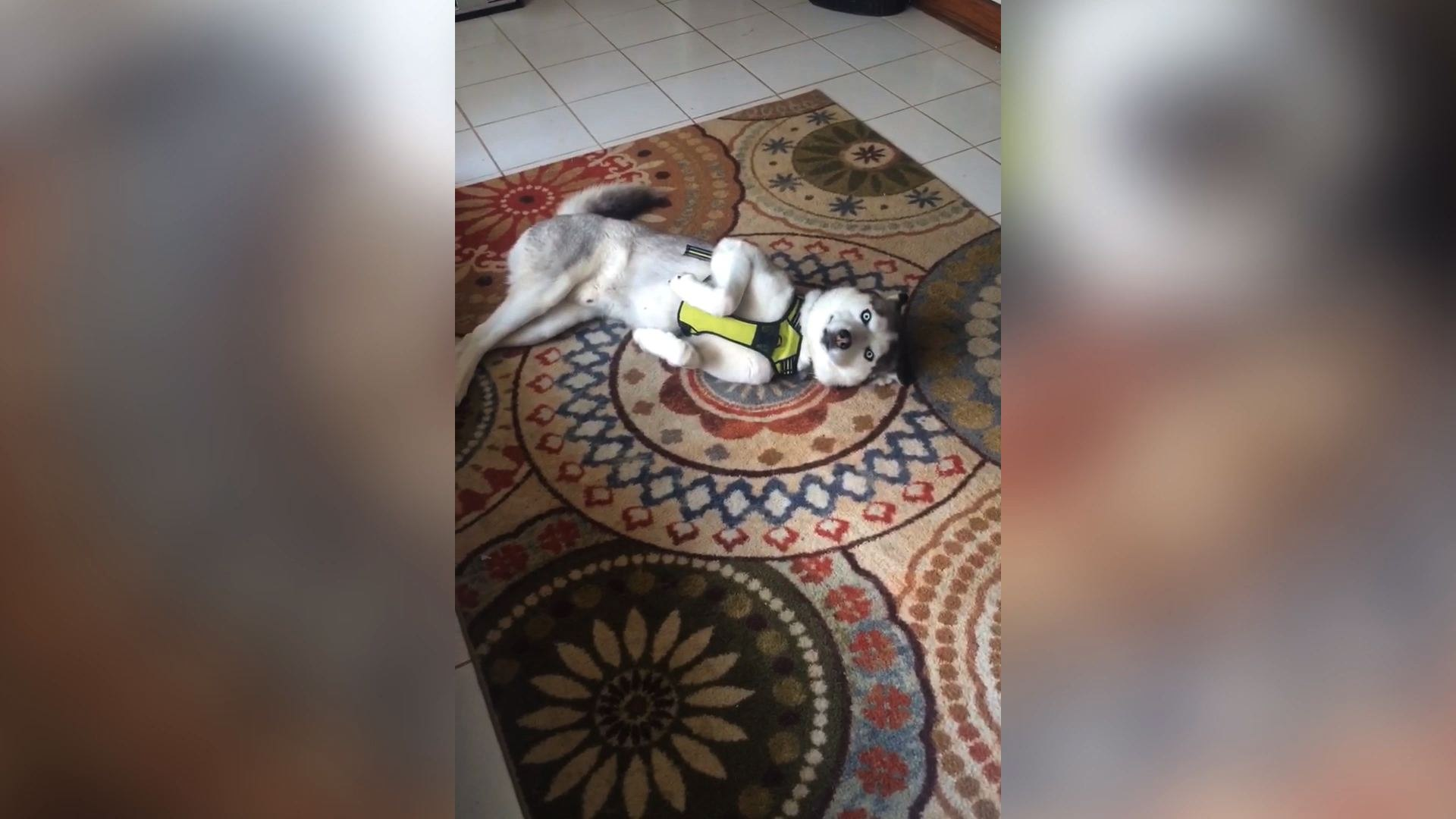 Guilty Husky Charms His Way Out Of Trouble