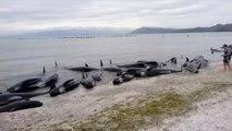 جنوح 416 حوت طيار عند شواطئ نيوزيلندا