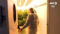 Cannabis von Italiens Armee