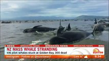 Sunrise  Theres been a mass whale stranding off New Zealands south island Authorities say 417 pilot whales have been beached and 300 have died