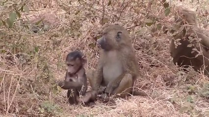 Crocodile Attack Monkey Baby