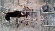 Il y a des ânes plus intelligents que d'autres ânes...