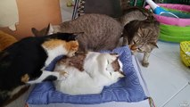 Vrais chats vs Faux chat