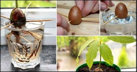 Kako uzgojiti avokado iz koštice
