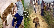 Furious Tiger attacking on Villagers | tiger vs human being | Tiger attack over man