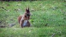 Ecureuil roux femelle