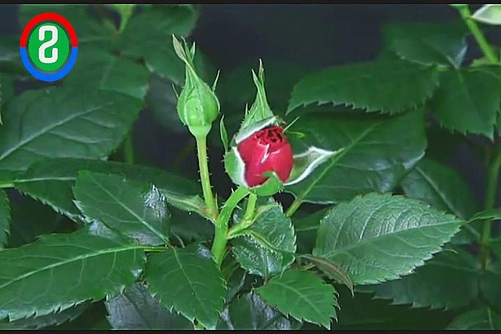 rose from khmer viral news