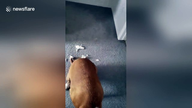 Guilty dog crawls low after tearing up paper towel