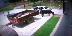Levou uma vaca com um FIAT UNO Het duurde een koe me teen Fiat Uno
