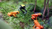 Amazing Tiny Frogs  _ Shedd Aquarium Amphibians Exhibit-aeTMNTywZZg