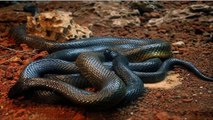 Top 10 Most Venomous Snakes in the World __ Top 10 Most Dangerous Snake 2016