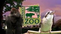 Zoo View Pallas Cat Kittens - Cincinnati Zoo