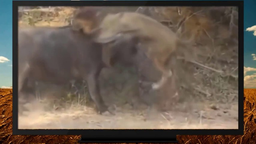 Dangerous Cape Buffalo (Black Death) - attacks & kills Lions - buffalo kills male lions