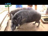 Doc Ferds and Doc Nielsen remove the tusk of a Philippine Warty Pig