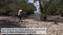 Des milliers de sardines s'échouent sur une plage du Costa Rica