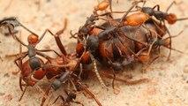 Des fourmis décapitent leurs reines