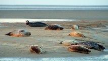 Les Phoques et la Baie d'Authie. Vie sauvage et vues en drone près de la baie de Somme, France