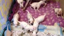 chiots dalmatien a 3 semaines