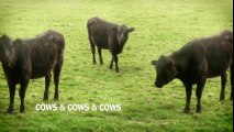 cows & cows & cows