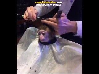''Babam Müteahhit, Arabam Var Alim mi Seni?'' Saçı Kestiren Maymun
