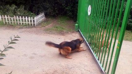 Des chiens pas très courageux !