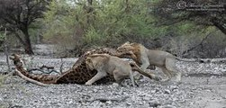 Most Amazing Wild Animal Attacks - Lion Vs buffalo vs Giraffe Fight To Death ( Lion Attacks Giraffe ) - 2017