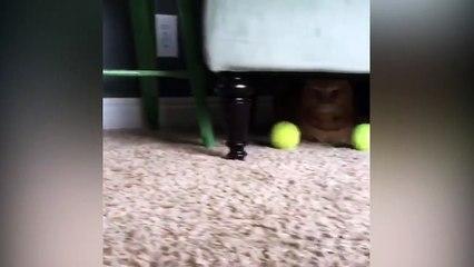 Un chat kidnappe les balles d'un chien !