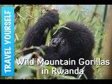 Trekking with Wild Mountain Gorillas in Rwanda