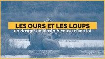 Les ours et les loups d'Alaska pourront à nouveau être tués par des méthodes violentes