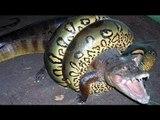 Crocodile vs Anaconda, anaconda attacks on anaconda and swallows crocodile-2017