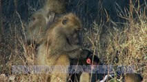 free-animals-stock-footage-baboon-and-her-infant