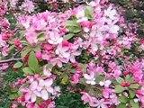 Wildapfel - Malus floribunda - Japanese flowering crabapple - Pommier japonais