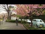 Musim Semi Bunga Sakura di Taman Ueno - NET5