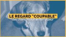 """Le regard """"coupable' des chiens traduit en fait la peur"""