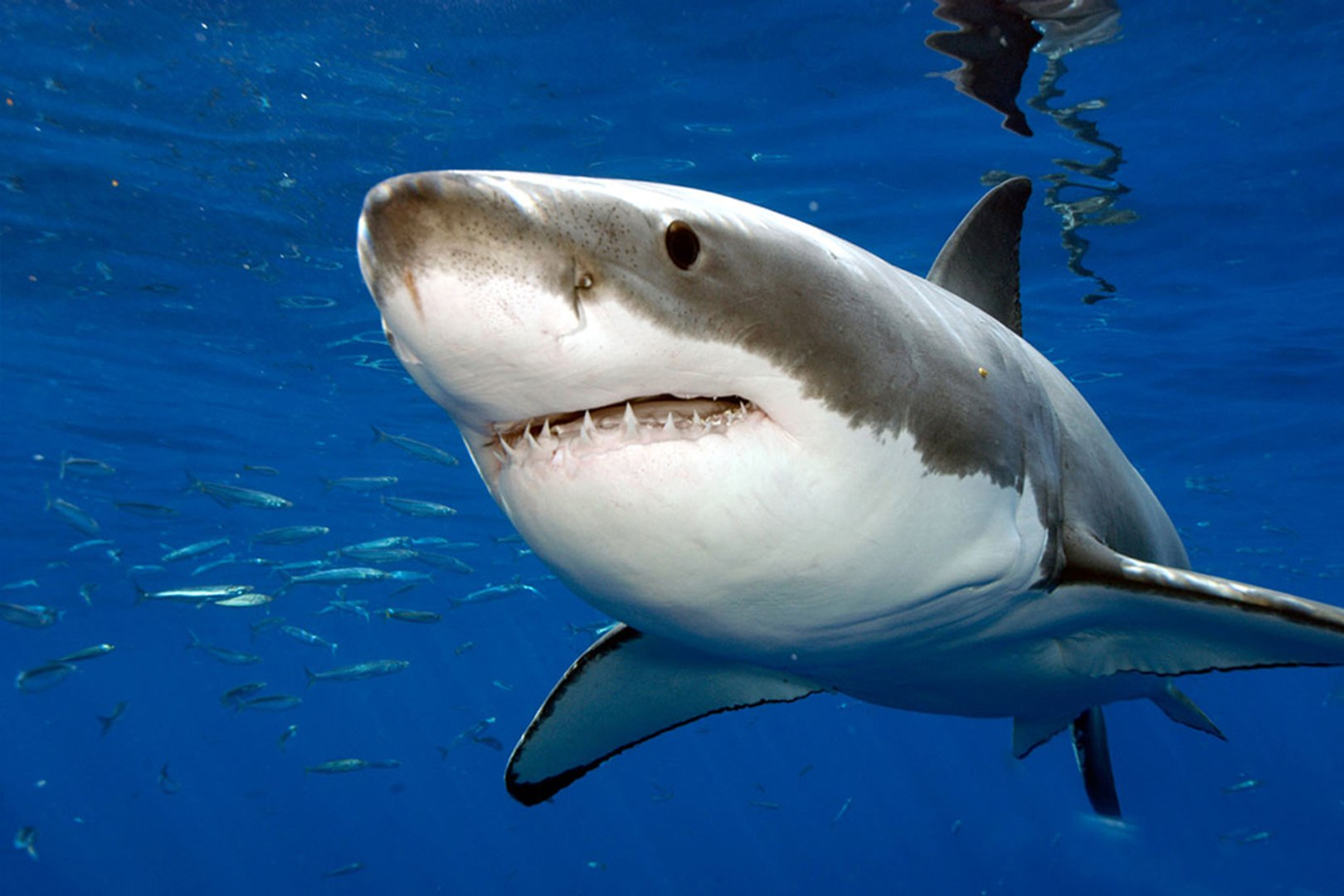 Grands Carnivores Le Grand Requin Blanc National Geographic