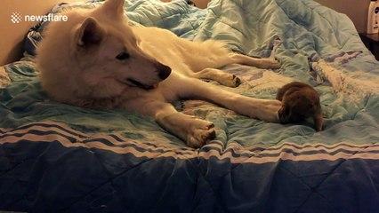 Wolf plays with prairie dog