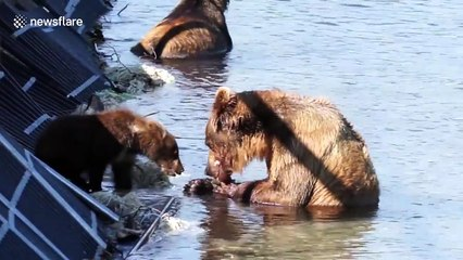 Hungry bear cub begs mother for food