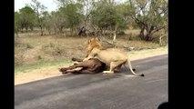 CRAZIEST Animal attacks Caught On Camera - Most Amazing Wild Animal Attacks