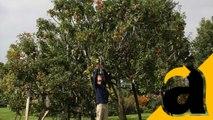 Apel Ajaib, Satu Pohon Tumbuh 250 Varietas Buah