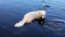 Ce chien est hors pair, regardez comment elle pêche des poissons dans l'eau…