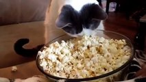 Mira lo que sucede cuando este gato descubre las palomitas de maíz por primera vez... Jajajaja ¡Esto es muy gracioso!