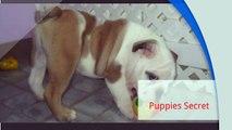 Miami FL Dogs For Sale - Puppies Secret (786) 953-5235