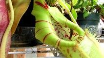 Killer Carnivorous Plant Eating Slug _ Carnivorous Plant Eats Slug!-