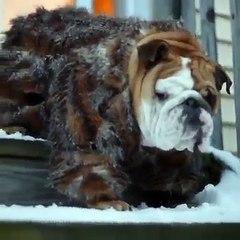 Bulldog with coat