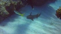 Ce plongeur héroique sauve un requin qui a un couteau planté sur sa tête